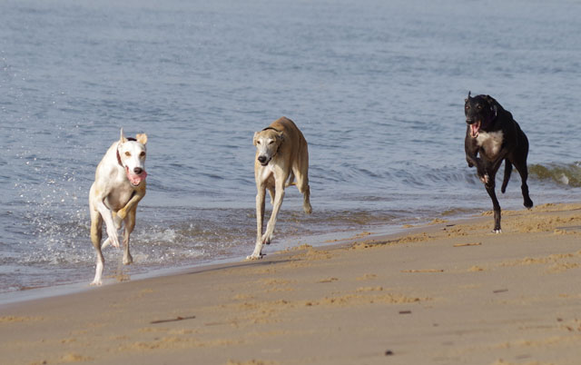 Greyhound and Galgo Español running